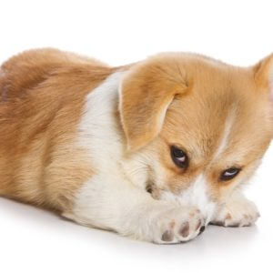 Just like people, dogs can be introverted or may have experiences that elicit shyness.