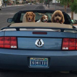 Blair, Roscoe and Sage awaiting their driver.